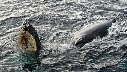 Baleine à proximité du navire