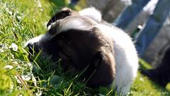 Sunbathing (Rockabella Anne) Tags: park sun nature sunshine puppy essen puppies play natur sonne nordrheinwestfalen spielen sonnenschein welpe werden whelp northrhinewestphalia hundewelpen essenwerden whelps