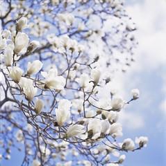 Magnolia (yocca) Tags: white flower film nature t spring flora dof kodak bokeh 100v10f hasselblad magnolia botanic ektachrome 500cm carlzeiss  2011 e100g plannar magnoliaheptapeta   mar2011