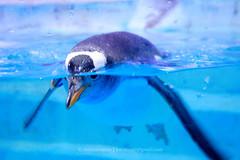 Penguin I   Dubai () Tags: mall zoo penguin aquarium dubai acrylic underwater panel uae worlds largest dubaimall thedubaimall dubaiaquariumunderwaterzooworldslargestacrylicpanel