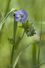 Solitude... (Gianfranco Dramis) Tags: flowers nature flora natura fiori ertoecasso parconaturaledolomitifriulane valledelvajont