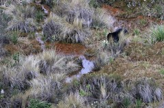 Andean (spectacled) bear beside water eating bromeliads (Paul Cottis) Tags: paulcottis ecuador august 2016 papallacta bear spectacled andean shortfaced moor 9 mammal