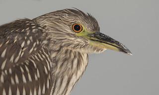 Black-crowned night heron  Juv