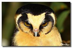 Buff-fronted Owl-Cabur-acanelado (Aegolius harrisii) (eliton sloma) Tags: bird birds aves coruja owl