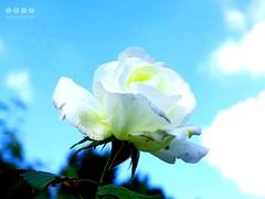 Rose im Herbst in Oberschwaben/Deutschland -   Rose in autumn in Upper Swabia / Germany (warata) Tags: 2016 deutschland germany sddeutschland southerngermany schwaben swabia oberschwabenupperswabia schwbischesoberland badenwrttemberg blume pflanze blte flower fleur frucht rose rosa