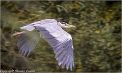 Grey Heron (cconnor124) Tags: carrmilldam billinge england unitedkingdom gb