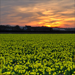 the daffodils at sunset (leuntje) Tags: sunset netherlands zonsondergang daffodils westeinde noordwijkerhout narcissen bollenstreek bulbfields tteatte bulbarea