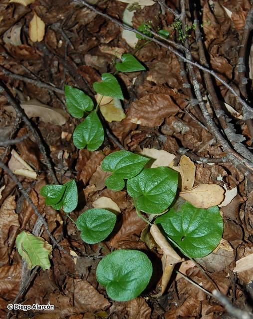 <br><br><br><br><i>Dioscorea humifusa</i> en el piso del bosque en el Parque Nacional Radal Siete Tazas, Región del Maule.