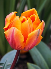 Think Spring! (PhotoDocGVSU) Tags: flower spring colorful tulip fortwaynein tamron18270vc