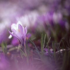 Floaty croci (Superlekker) Tags: park england flower colour film beautiful beauty 50mm spring kodak f14 crocus olympus ishootfilm lilac bloom simple zuiko om1 croci