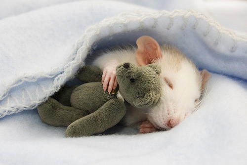 sleeping-rat-rungmasticom