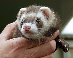 Ever Alert (njchow82) Tags: portrait pet cute nature animal closeup ferret domestic inspiredbylove animaladdiction worldofanimals njchow82 dmcfz35