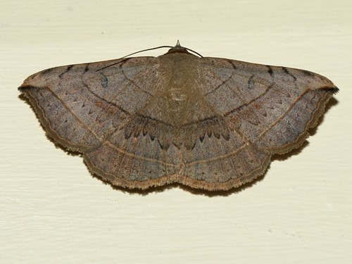 Moth Noctuidae? 4057