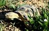 Wise turtle  لاک پشت دانا (س ی ن ا) Tags: wise گل شهرستان روستای پشت لاک درگز دانا خندان turtle 