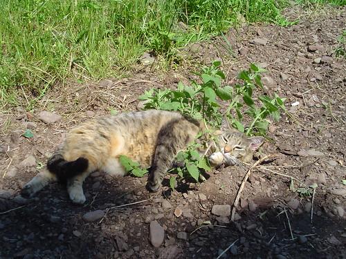 tending her catnip