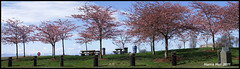 Panoramic Cherry Blossoms Garry Point S0802e (Harris Hui (in search of light)) Tags: pink flowers blue trees red canada vancouver cherry spring bc pano blossoms panoramic richmond fujifilm cherryblossoms biennale springflowers pointshoot steveston garrypointpark garrypoint redsculpture digitalcompact windwaves s1600 vancouverbiennale fujis1600 wideshots windyafternoon harrishui vancouverdslrshooter spring2011 panoramiccherryblossoms