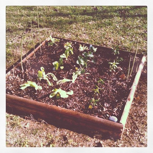 Garden planted today. Lettuce, peppers, Brussels sprouts and asparagus.
