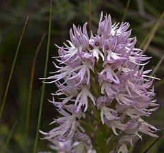 Orchis italica Poir. (Karl Hauser) Tags: flowers flower andalucía spain flora pflanzen orchidaceae spanien orchis italica orchisitalica orchdaceae kniebiskarle