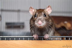 Knopfauge (wulpix) Tags: pet animal rodent nagetier tiere rat sweet rats fancy ratte tier ratten nagetiere