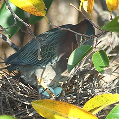 Beautifully camouflaged Green Backed Heron sits on 2 large blue eggs (jungle mama) Tags: heron waterbird greenbackedheron blueeggs wakodahatcheewetlandsdelraybeachfl littlegreenheron butoridesvirescens supershot