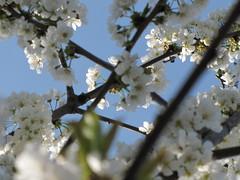Ciliegio in fiore 9