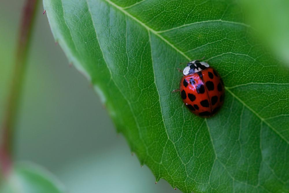 Macro 7/30:  Ladybug