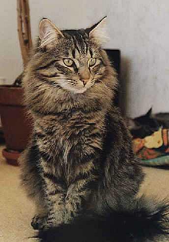 Норвезька шотландська лісова кішка