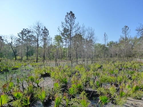 A field of saw palmetto