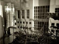 spider in the sky garden (mugley) Tags: city flowers windows cactus urban blackandwhite bw plants blur slr cars mamiya film monochrome skyline architecture modern clouds cacti buildings mediumformat reflections prime high 645 cityscape glare shadows dof skyscrapers kodak bokeh towers perspective australia melbourne wideangle victoria scan d76 negative epson cbd tall 6x45 residential offices mamiya645 stalks urbanlandscape plusx orchidcactus wideopen f35 awb 125px v700 keystoning rhipsalis mamiya645protl m645 rhipsalisbaccifera republictower kodakplusx125 australianwheatboard nondakatsalidis rhipsalishadrosoma mistletoecactus gasteriabicolor 35mmf35sekorn willsst 414latrobe rhipsaliscereuscula haworthiavenosatesselata epipiphyllum