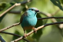 blue waxbill (DavidBerliner) Tags: bird namibia bluewaxbill 100400mmis canon50d