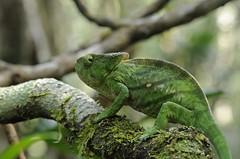 Parson's chameleon, adult female (Calumma parsonii), Andasibe (Niall Corbet) Tags: nationalpark rainforest jungle chameleon madagascar parsons andasibe perinet parcnational chamaeleonidae calummaparsonii