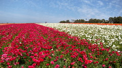 Pink & White Ranunculus (Ari Lynn Day) Tags: california pink red white flower color green beautiful yellow gold colorful bright sandiego rich peach ranunculus fields southerncalifornia carlsbad flowerfields