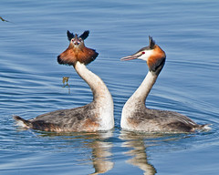 What do you mean you prefer chocolates !!! (Andrew Haynes Wildlife Images) Tags: nature dance rugby wildlife warwickshire draycotewater greatcrestedgrebes canon7d ajh2008