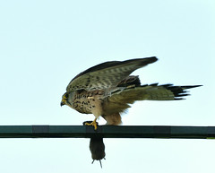 Kestrel with mouse (Jan Visser Renkum) Tags: birds vogels kestrel falcotinnunculus torenvalk