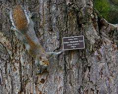 tour guide (rakkasan69) Tags: tree canon squirrel tour little tony un guide babcock ginko xsi biloba