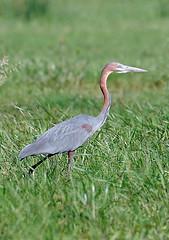Goliath Heron, Lake Manyara National Park