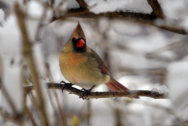 last storm female cardinal
