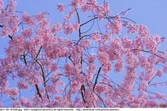 2011-04-14 0500 Sakura, Prunus serrulata, the weeping cherry tree blossoms (Badger 23 / jezevec) Tags: park pink flowers flower tree cherry spring blossom indianapolis blossoms indiana anh bloom  flowering sakura blooms holliday weeping hoa blooming prunus cerezo weepingcherry    kirschblte   jezevec cvijet serrulata shidarezakura prunusserrulata o krsbr   cseresznyevirg japanskt  hoaanho kirsuberjatr badger23 namumulaklak  trenjin    seresang trenjincvijet