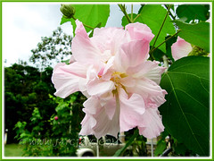Hibiscus mutabilis Confederate Rose, Cotton Rose) with white and pink colours, a double bloom form