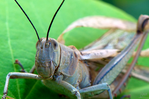 Grasshopper Shedding Wings