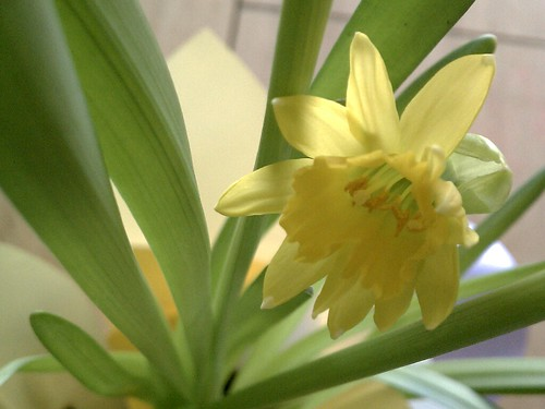 Birthday narcissus by Elli :-)
