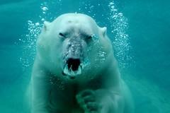 Coming at ya! (tammyjq41) Tags: polarbear willy d300 northcarolinazoo tjd specanimal