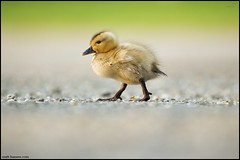 Mallard Duckling (www.matthansenphotography.com) Tags: baby cute bird nature grass animal easter walking duck spring wildlife duckling chick newborn mallard gravel avian anasplatyrhynchos matthansen