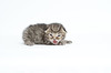 Kitty (Carl's Photography) Tags: cat nikon kitten kitty iso320 f40 sb800 alienbees 85mmf14d nikkor85mmf14d strobist 1250sec sb900 d7000 43inchshootthroughumbrella 1250secatf40 nikond7000 paraboliclightmodifier gettyartistpicks nikonsg3irirpanel whitediffusioncover ab64inchsilverplm