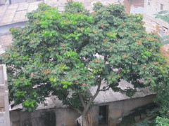 Shea butter tree (Vitellaria paradoxa) below H...
