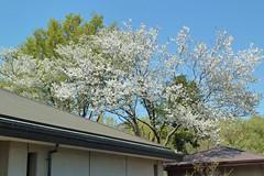 自然環境保全センターの桜(Cherry blossoms, Nature Preservation Center, Kanagawa, Japan)