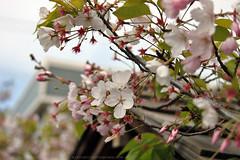 (lkylindy) Tags: festival japan cherry for san francisco blossom donate 2011