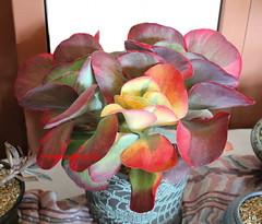 Kalanchoe Thyrsiflora 'Fantastic' (Kelley Macdonald) Tags: succulent kalanchoe paddleplant flapjackplant desertcabbage variegatedsucculent kalanchoethyrsiflorafantastic variegatedkalanchoethyrsiflora