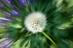 Day 339 22nd April 2011 Dandelion Zoom Challenge (Chris Willis 10) Tags: simon official friend photographer zoom icehockey dandelion professional burst challenge sait zoomburst manchesterphoenix richardallan simonsait rgallan