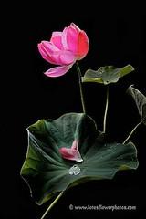 Lotus Flower # 84 (Amazing Tan Photos) Tags: flowers meditation  macrophotography   flordelotus lotusflowers flowerphotography fiorediloto hoasen   lotosblume bungateratai lotusflowerpictures   kwiatlotosu lotusflowerimages lotusblomst lotusflowerphotos fleurdeloto flordeloto lotusbloem lootuskukat lotosovkvty lotusblommorlotusblomster buddhistsymbol